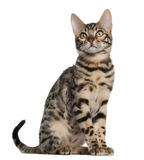 gammal sitting för 4 bengal kattungemånader Arkivbild