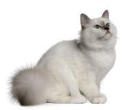 gammal sitting för 4 birman kattungemånader Royaltyfria Bilder