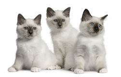 gammal sitting för 2 birman kattungemånader Fotografering för Bildbyråer