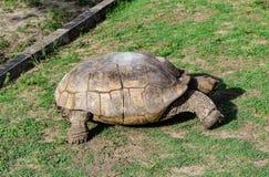 Gammal sköldpadda Arkivbild