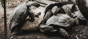 Gammal sköldpaddaavel, zoo Arkivfoton