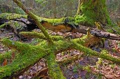 gammal skog Royaltyfria Bilder