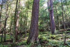 gammal skogtillväxt Royaltyfri Bild
