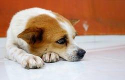 Gammal smal whire och brunt dog den väntande på ägaren på dörren Fotografering för Bildbyråer