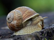 gammal snail Royaltyfri Fotografi