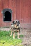 Gammal soldat - ledsen vakthund på en kedja bredvid en port Arkivbilder