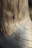 Gammal spiral stam av trädtextur Royaltyfria Bilder