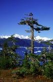 gammal spruce Royaltyfri Foto
