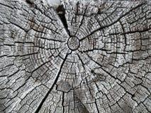 gammal sprucken oak för stråle Royaltyfri Fotografi