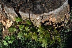 Gammal sprucken textur för trädstubbe med unga silverlönngroddar längs och grönt gräs royaltyfri bild