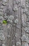 Gammal sprucken träyttersida som täckas med laven Fotografering för Bildbyråer
