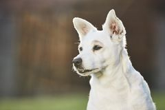 gammal stående för hund Royaltyfri Foto