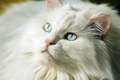 gammal stående för katt Royaltyfri Bild