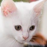 gammal stående för kattunge sex vita veckor Royaltyfria Foton