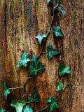gammal stam för murgröna Royaltyfri Foto