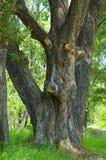 gammal stam för poplartrees Arkivbilder