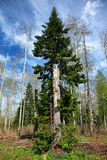 Gammal stam i vårskog Royaltyfri Foto