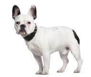 gammal standing för 10 månader för bulldogg franska Arkivfoto
