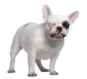 gammal standing för 12 månader för bulldogg franska Royaltyfri Foto