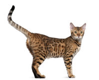 gammal standing för 7 bengal kattmånader Arkivbilder