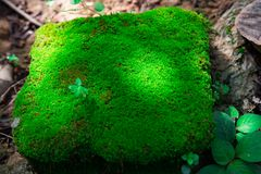 Gammal sten för Closeup som är bevuxen med grön mossa i skogen för backgr Royaltyfria Foton