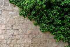Gammal stenvägg med murgrönan som bakgrund Arkivbild
