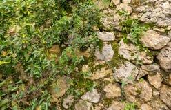 Gammal stenvägg som åldras med gröna sidor royaltyfri foto