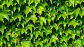Gammal stenvägg som täckas av den gemensamma eller europeiska murgrönan, Hederaspiral, bakgrundstexturnärbild, selektiv fokus royaltyfria foton