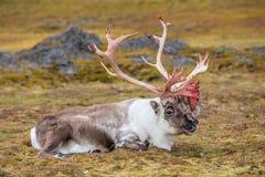 Gammal stor arktisk ren som förbereder sig att utgjuta hans horn på kronhjort Arkivbild