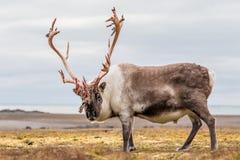 Gammal stor arktisk ren som förbereder sig att utgjuta hans horn på kronhjort Royaltyfria Bilder