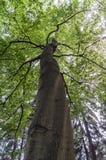Gammal stor bokträd Royaltyfri Fotografi