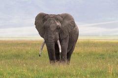 Gammal stor elefant Ngorongoro krater Royaltyfria Foton