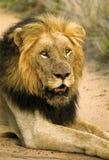 gammal stor lion royaltyfri bild