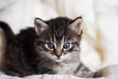 Gammal strimmig kattkattunge för få veckor med fluffig päls Arkivbilder