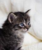 Gammal strimmig kattkattunge för få veckor med fluffig päls och blåa ögon Royaltyfria Bilder