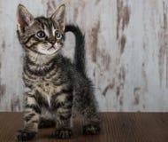 Gammal strimmig kattkattunge för få veckor på vit träbakgrund Royaltyfri Fotografi