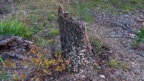 Gammal stubbe av det döda trädet som täckas i små vita champinjoner, i en skog arkivbilder