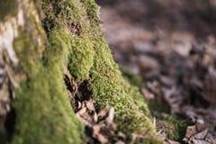 Gammal stubbe som täckas med mossa och göken på den Arkivfoto