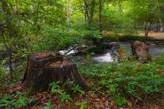 Gammal stump på en ström i skog arkivfoton