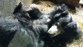 Gammal svart björn Royaltyfri Fotografi