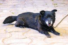 Gammal svart hund på kedja arkivfoton
