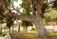 gammal sycamoretree Arkivfoto