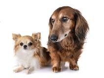 Gammal tax och chihuahua royaltyfria foton