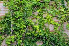 Gammal tegelstenvägg med det gröna bladet arkivbilder