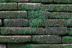 Gammal tegelstenvägg med grön moss Arkivbild