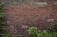 Gammal tegelstenvägg med lövverk arkivbild