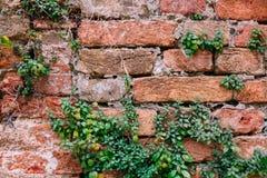 Gammal tegelstenvägg med växter Royaltyfria Foton