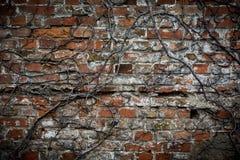 Gammal tegelstenvägg med vissna växter Arkivfoto