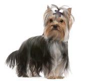 gammal terrier yorkshire för 13 hairbowmånader Royaltyfri Foto