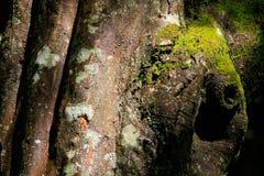 Gammal textur för avenbokträdskäll Royaltyfria Bilder